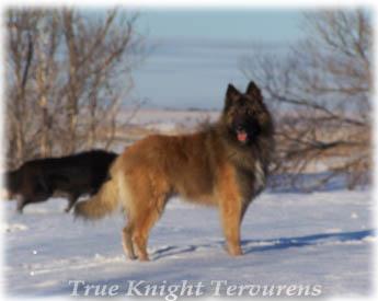 Double K Ranch True Knight Tervurens